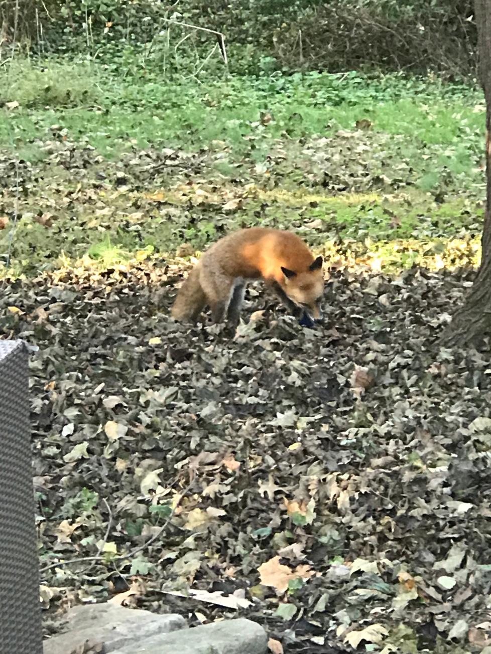Fox foragin for food