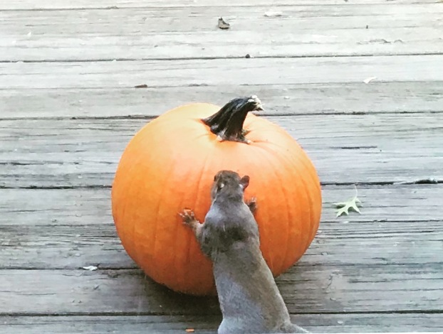 The Squirrel loved this pumpkin